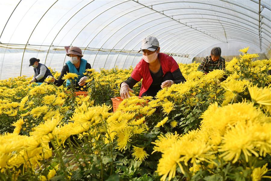 CHINA-HEBEI-CHRYSANTHEMUM PLANTING (CN)