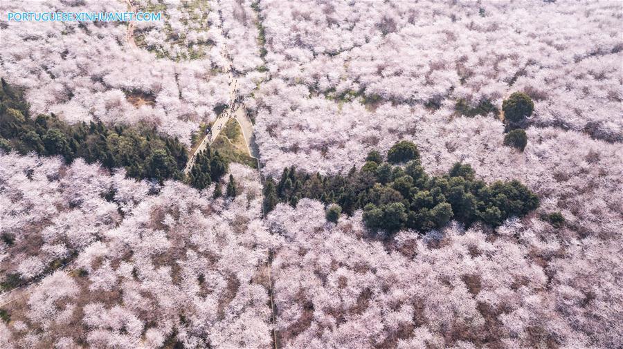 CHINA-GUIZHOU-CHERRY BLOSSOM-TOURISM (CN)