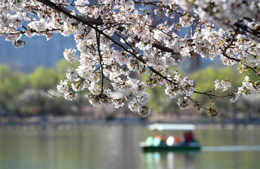 CHINA-BEIJING-SPRING-CHERRY BLOSSOMS (CN)