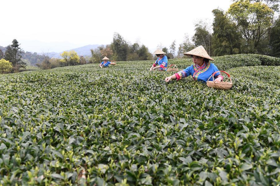 CHINA-FUJIAN-FUDING-TEA HARVEST (CN)