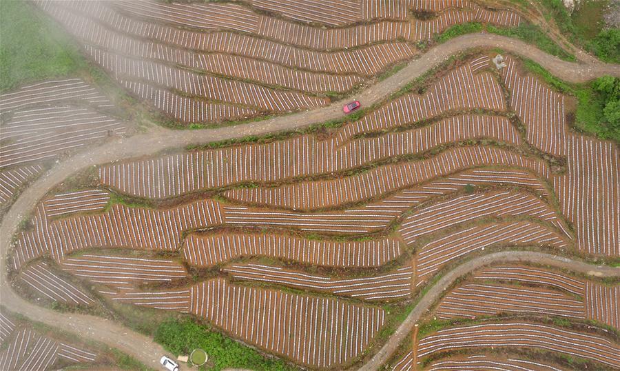 #CHINA-HUBEI-XUAN'EN-TERRACED FIELD (CN)