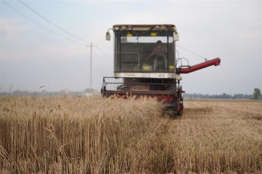 CHINA-HEBEI-XIONGAN-WHEAT HARVEST (CN)