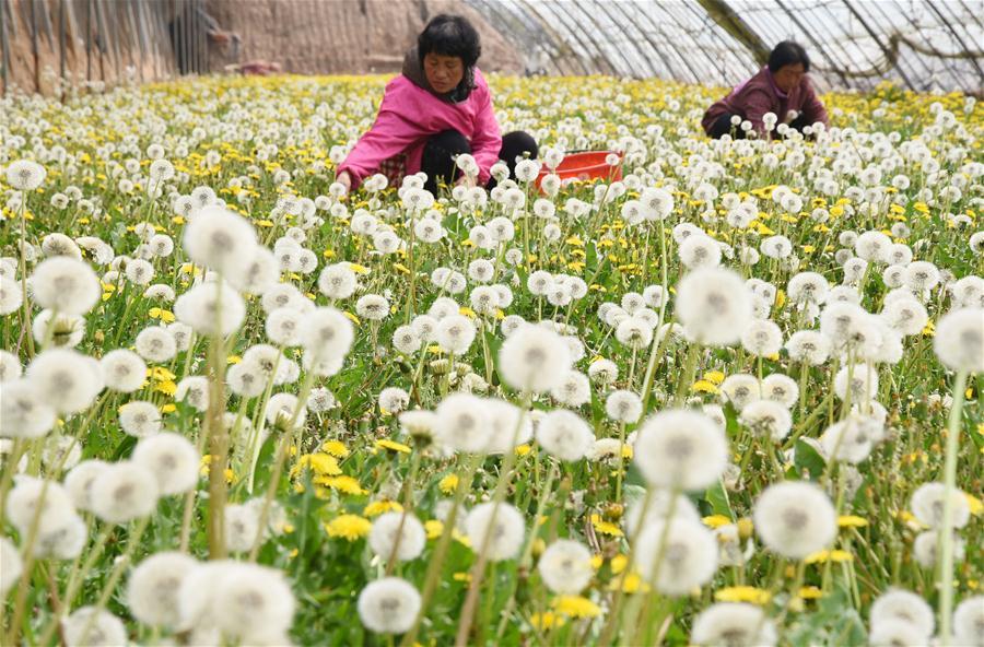 #CHINA-HEBEI-HANDAN-DANDELION-RURAL ECONOMY (CN)