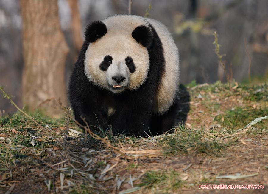 CHINA-XI'AN-QINLING-GIANT PANDA (CN)