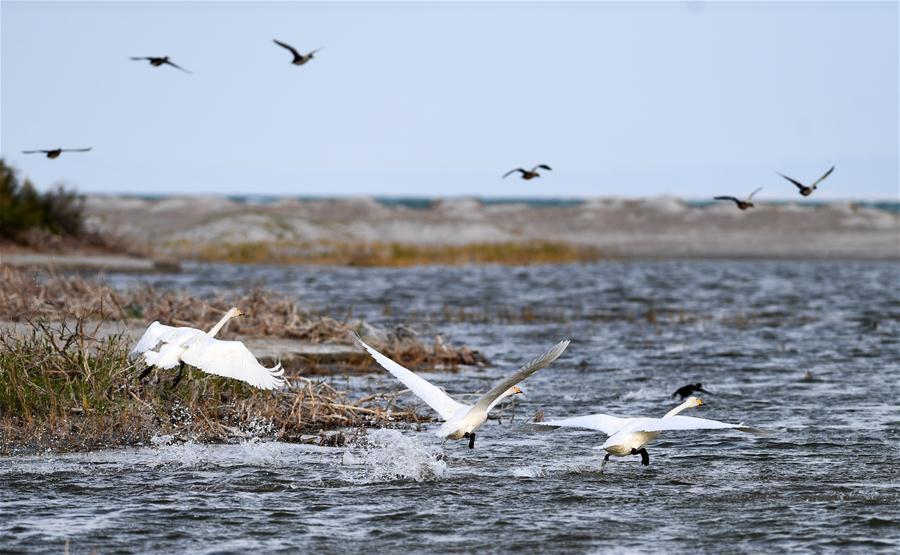 CHINA-XINJIANG-FUHAI-WETLAND-BIRDS (CN)