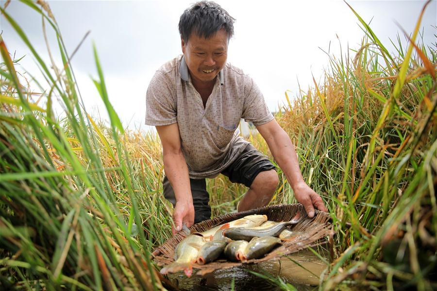 #CHINA-GUIZHOU-BIJIE-RICE-FISH-HARVEST (CN)