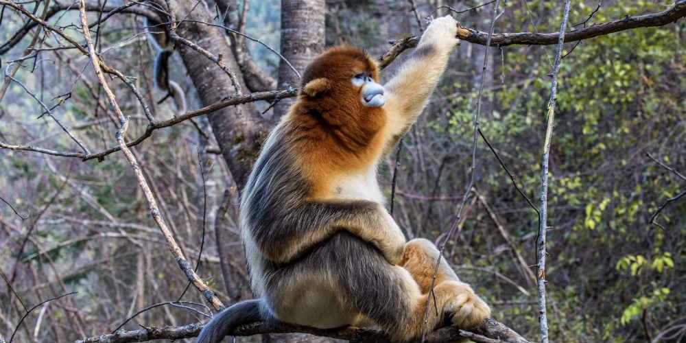 Macacos dourados se divertem na floresta de Hubei