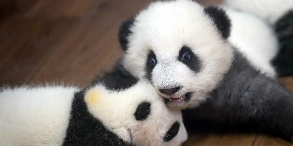 """23 filhotes de panda gigante moram no """"jardim de infância"""" em Chengdu"""