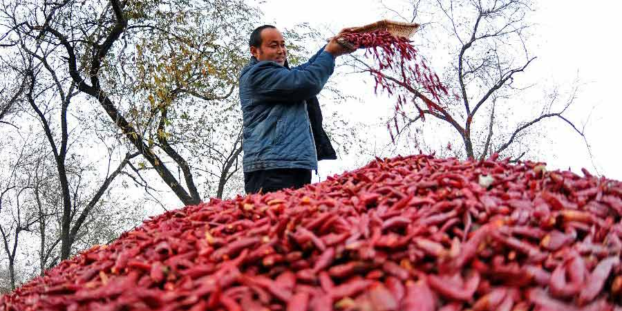 Agricultores intensificam colheita de malagueta na província de Hebei