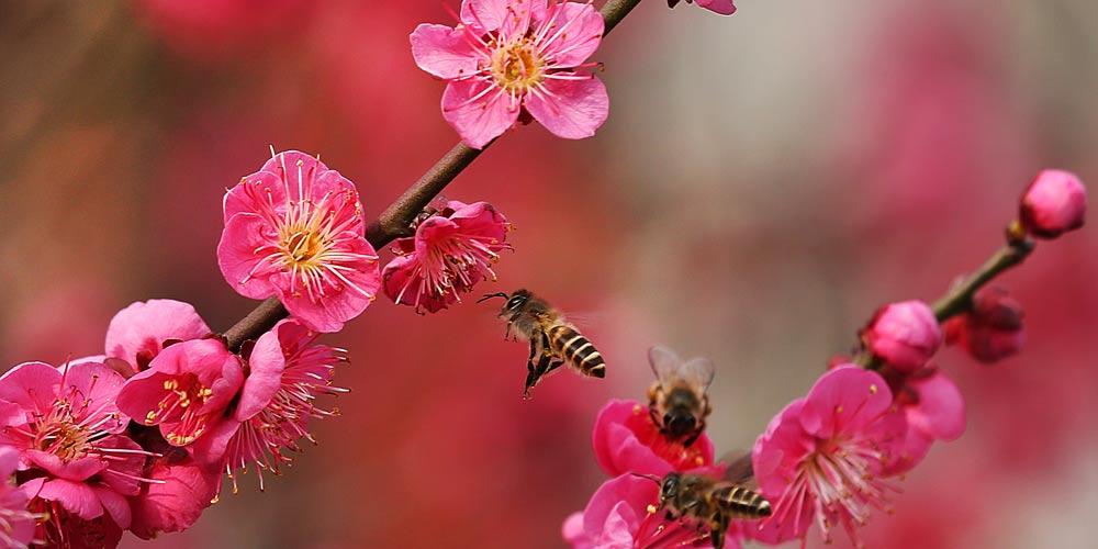 Flores de ameixeira florescem em Jiangsu, no leste da China