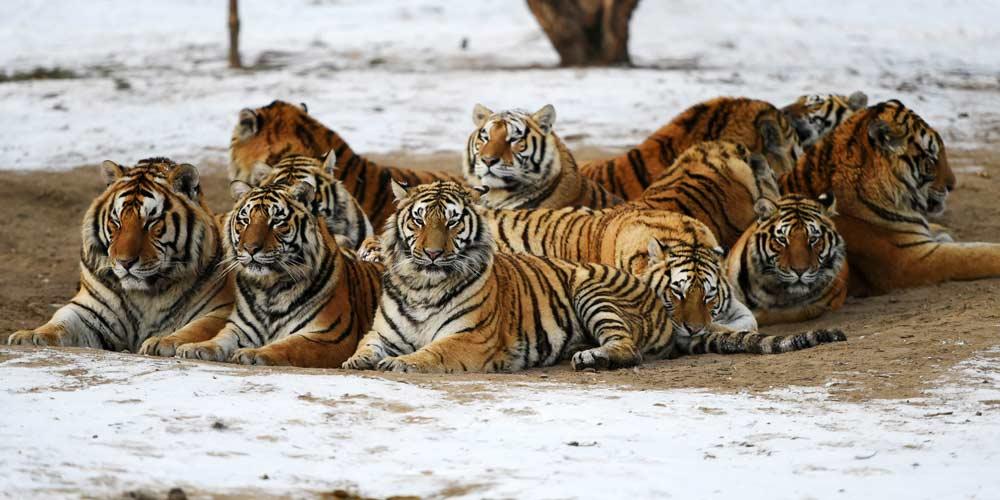 Tigres siberianos de Harbin enfrentam sobrepeso