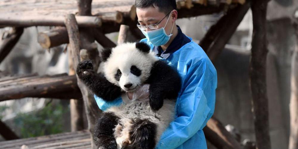 Panda Qiyi não larga cuidador e vira sensação na web