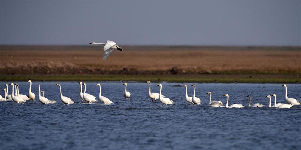 Aves migratórias no Lago Leste de Dongting voam de volta para o norte da China