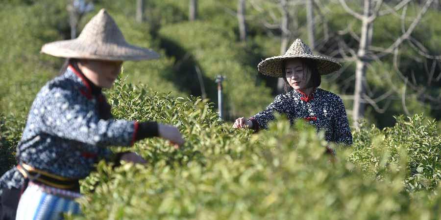 Província de Zhejiang inicia temporada de colheita de chá
