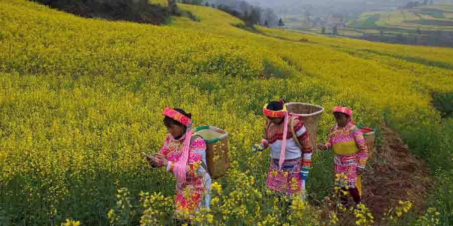 Flores de canola em Floração transformam a paisagem em Luoping, no sudoeste da China