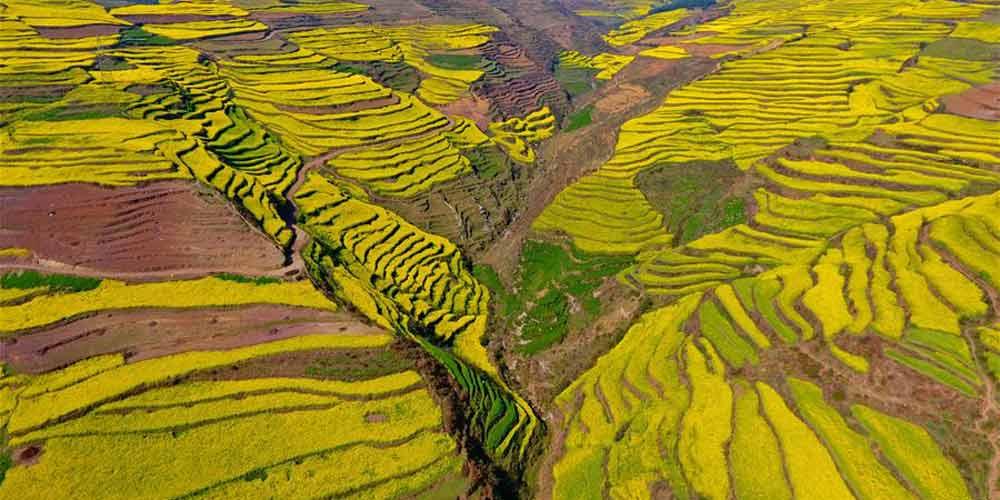 Campos de flores de canola em Yunnan