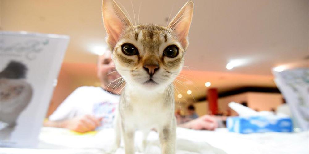 Em imagens: Exposição Internacional de gatos em Zagreb