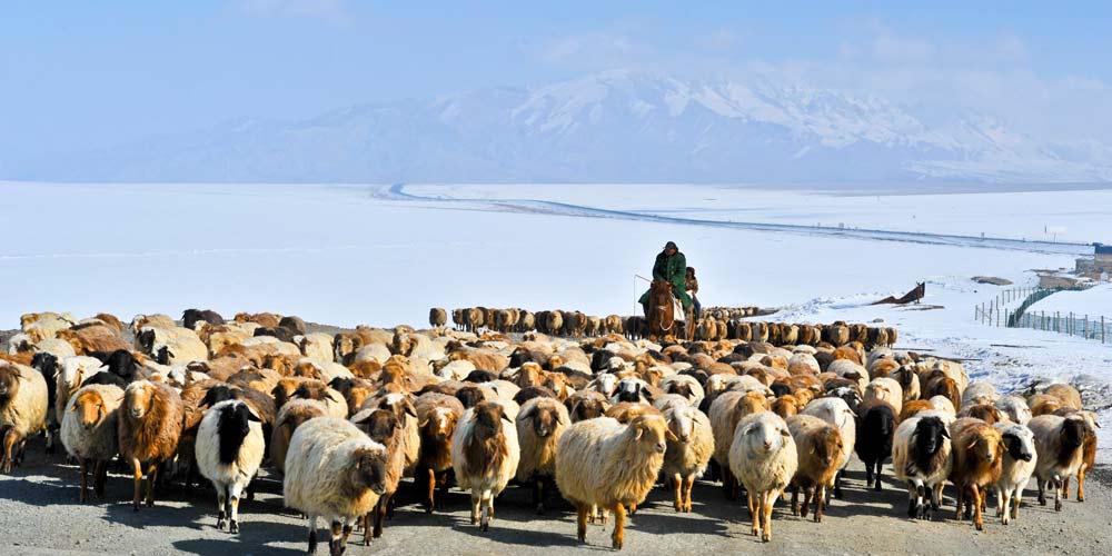 Pastor de Xinjiang transfere gado para pastagens de primavera