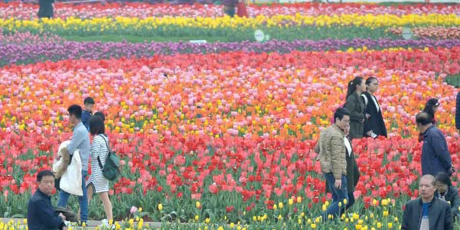 Campo de tulipas no Jardim Botânico de Hunan, centro da China