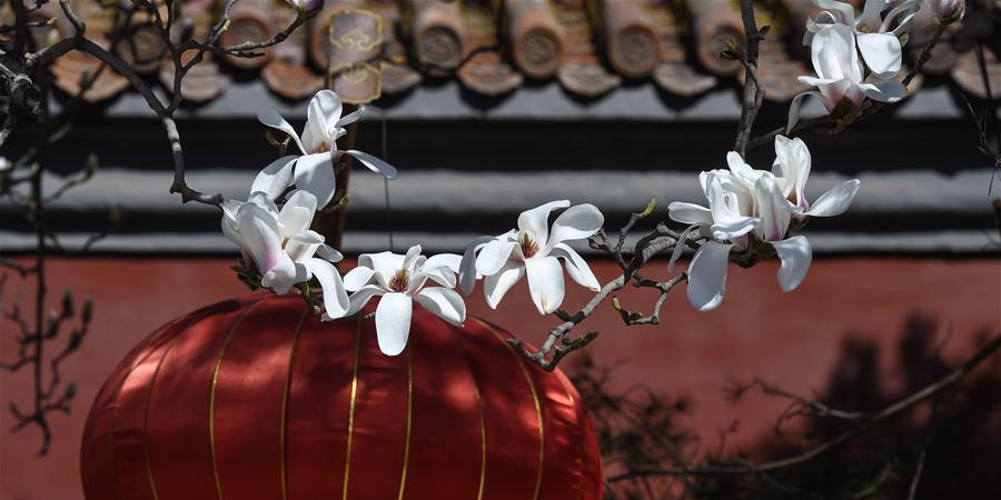 Flores de magnólia florescem em Beijing