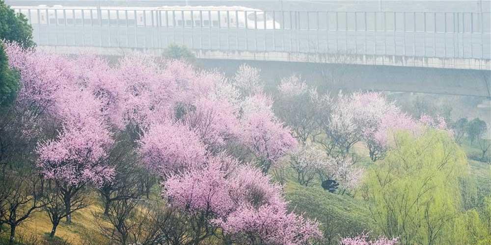 Flores de ameixa às margens do rio Kuanghe em Hefei