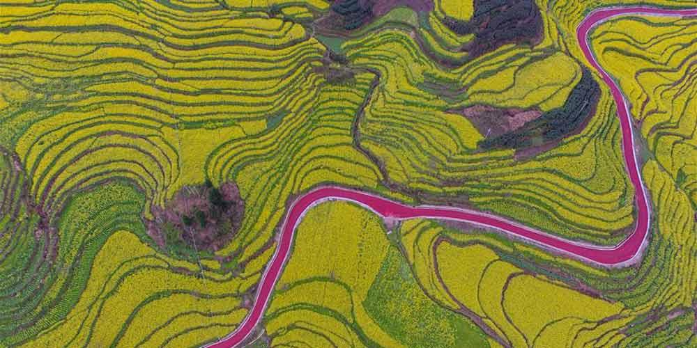 Cenário de campos de flores de canola em Guizhou