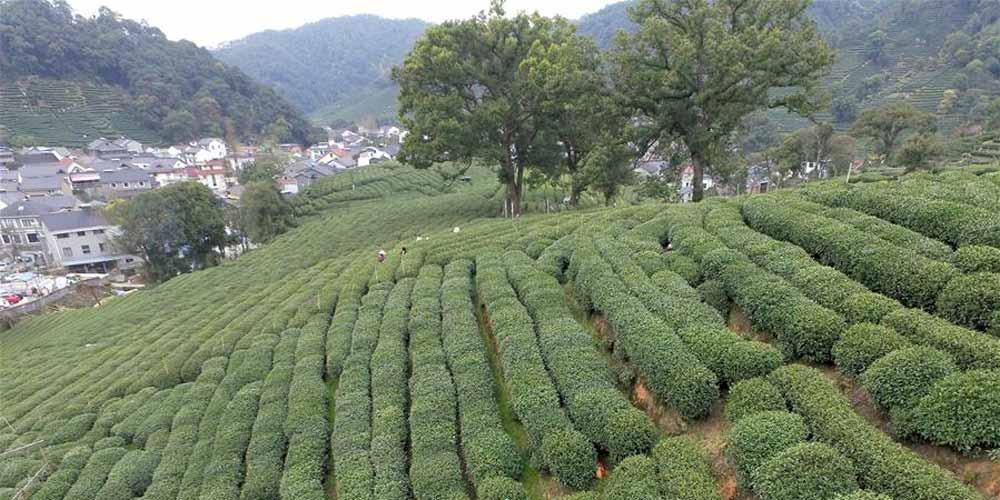 Começa a temporada de colheita do chá Longjing do Lago Oeste em Hangzhou