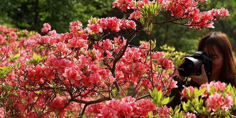 Azaléias florescem em Henan no centro da China