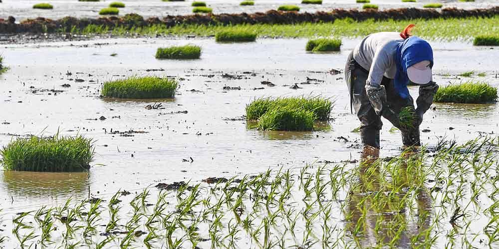 Agricultores plantam mudas de arroz em Jilin no nordeste da China