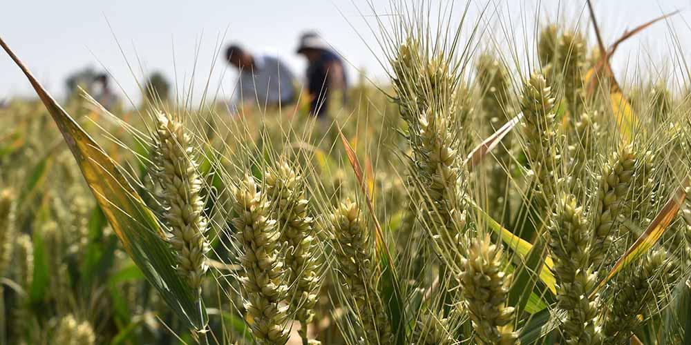 Colheita de trigo inicia em Shandong no leste da China