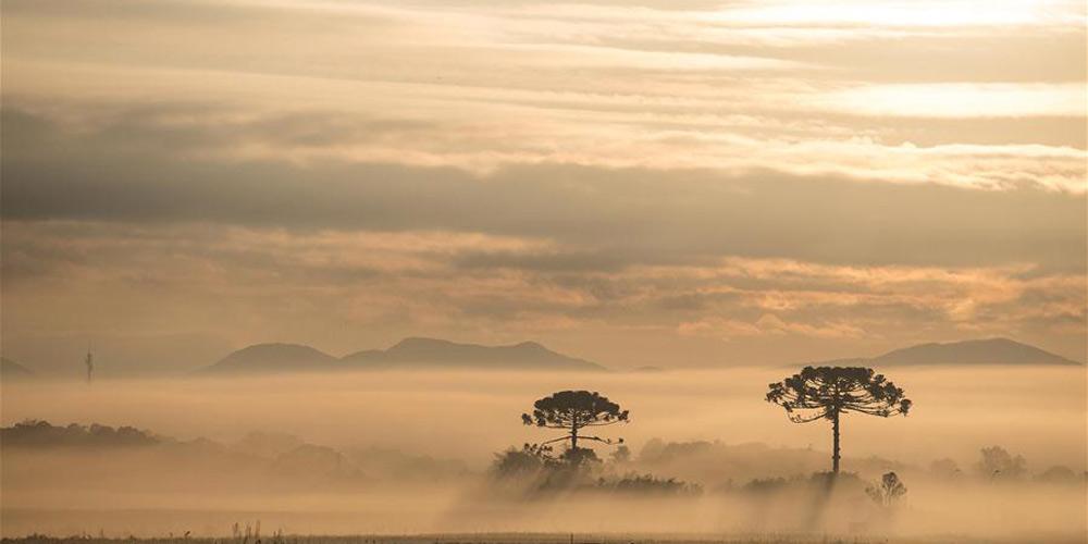 Em imagens: Pinheiro-do-paraná ameaçado de extinção no Brasil