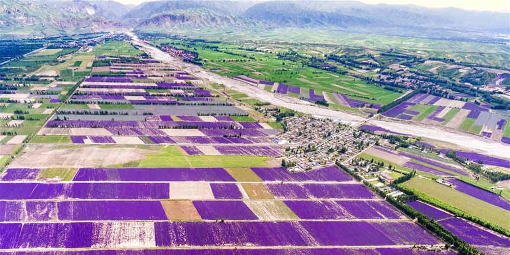 Plantação de lavanda em Xinjiang no noroeste da China