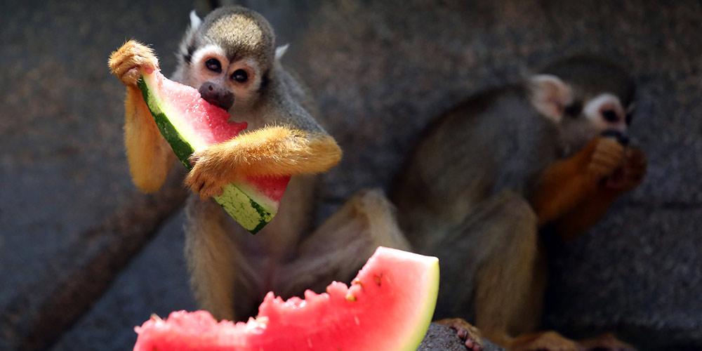 Macacos ganham melancia e água fresca para enfrentar onda de calor em zoológico em Fujian