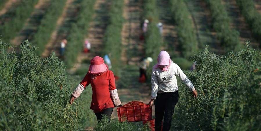 Valor anual da produção de wolfberry atinge 13 bilhões de yuans noroeste da China