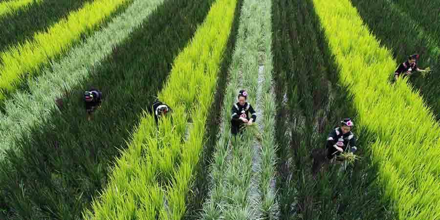 Aldeãs do grupo étnico Miao trabalham em plantação de arroz em Guizhou
