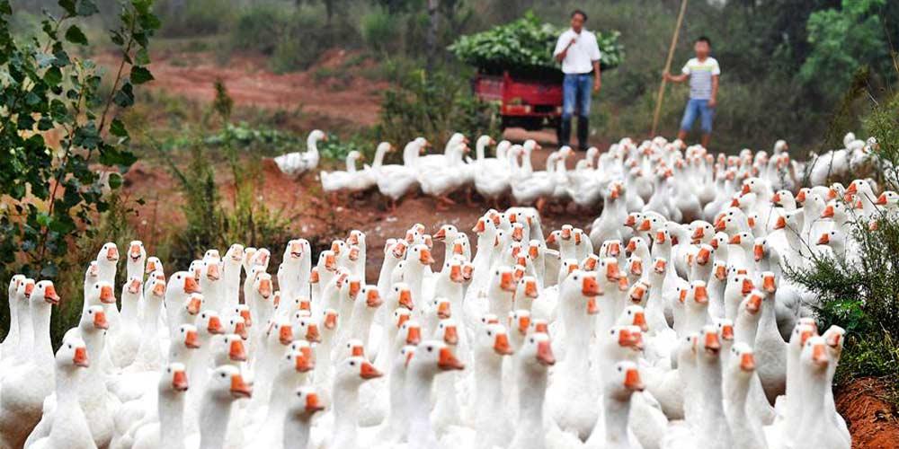 Criação de gansos ajuda aldeões a saírem da pobreza em Lu'an, no leste da China