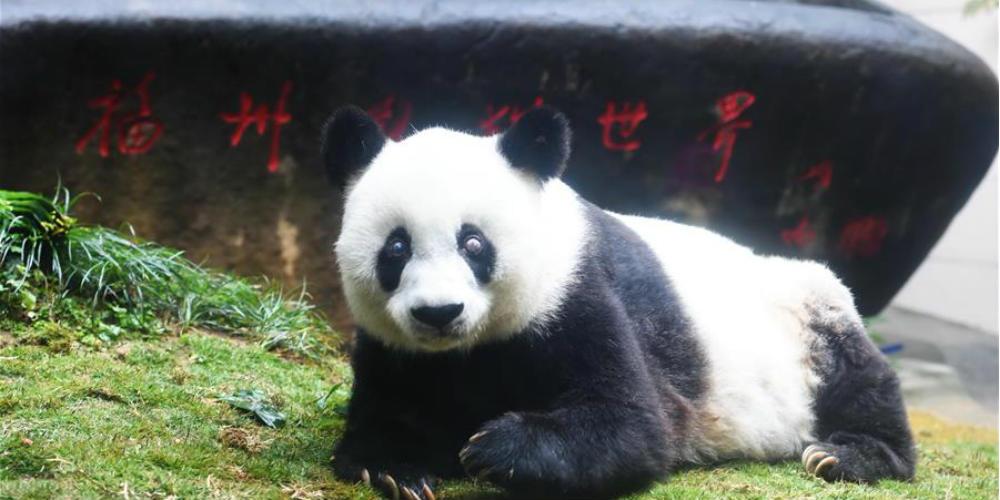 Panda-gigante mais velha do mundo morre aos 37 anos