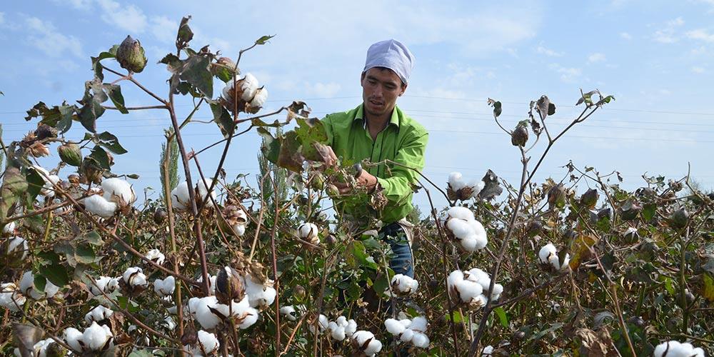 Colheita de algodão inicia em Xinjiang
