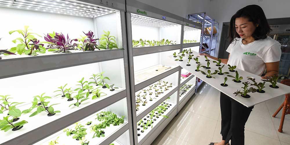 Cultivo de vegetais hidropônicos em Hebei