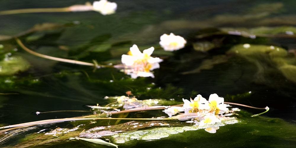 Ottelia acuminata em floração no rio Chengjiang no sul da China