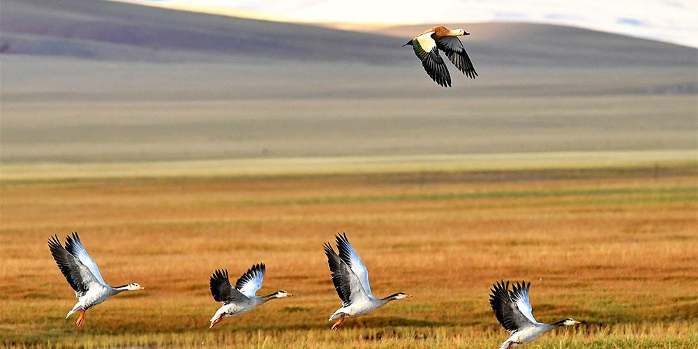 Paraíso para vida selvagem: Reserva Nacional Natural Changtang