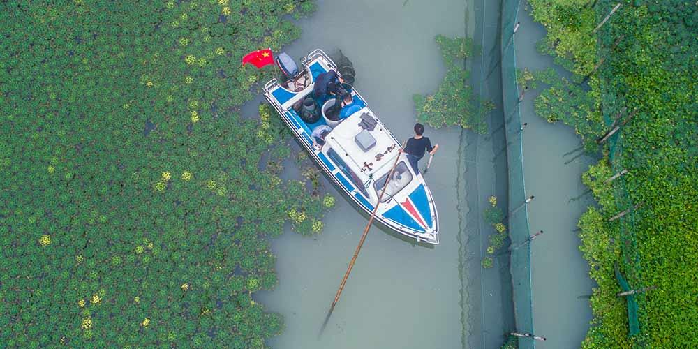 Criadores iniciam época de coleta de caranguejos Taihu no leste da China