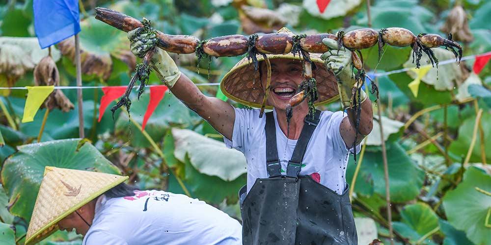 Competição de colheita de raízes de lótus na aldeia de Tanghong, no leste da China