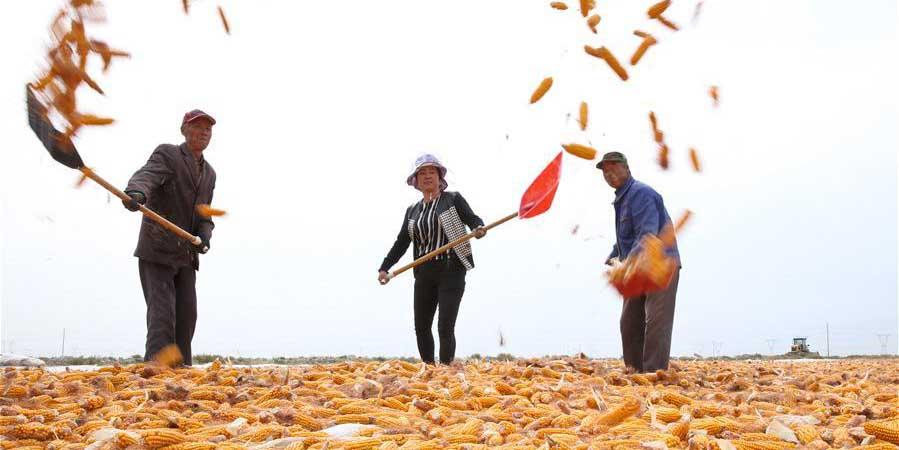 Colheita de milho em Gansu, no noroeste da China