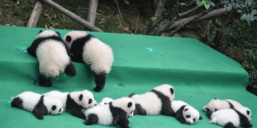 Filhotes de panda-gigante são apresentados ao público em Sichuan
