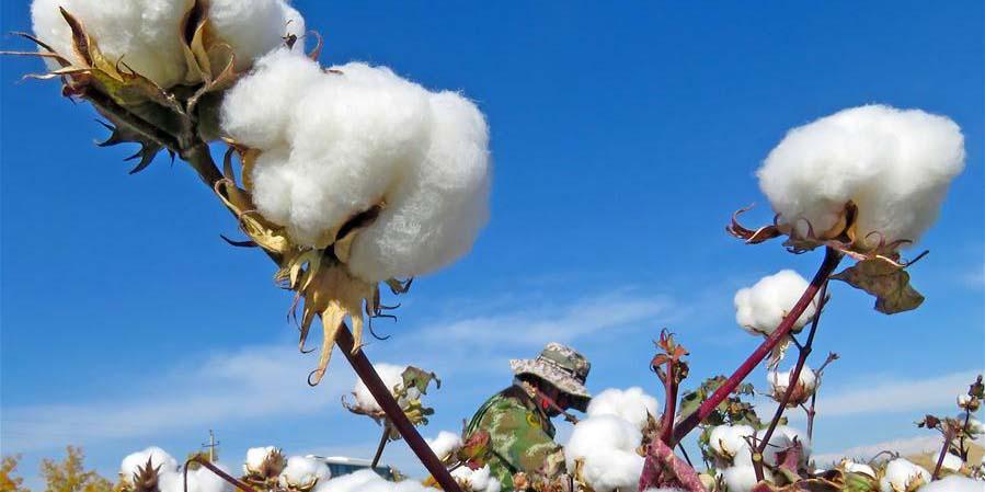 Colheita de algodão em Xinjiang