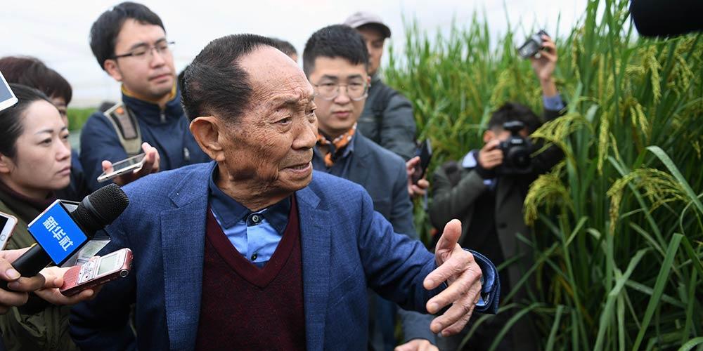 """China apresenta """"arroz gigante"""" de dois metros de altura"""