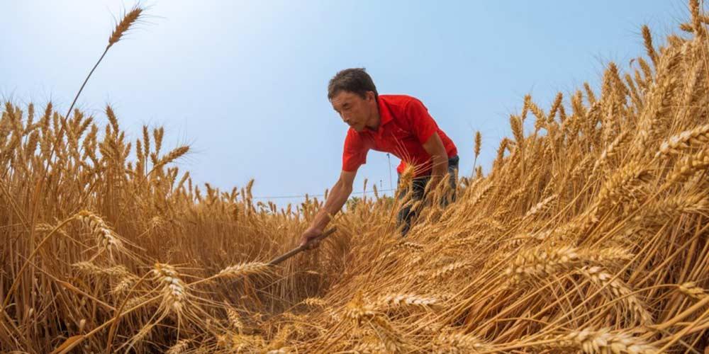 Produção de grãos da China ficará acima das 600 milhões de toneladas em 2017