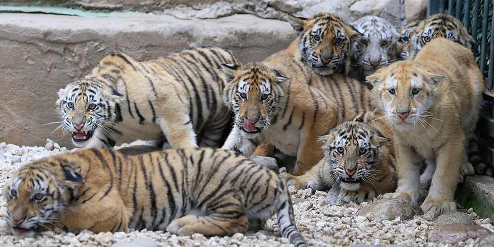12 filhotes de tigres são apresentados ao público no zoológico de Jinan