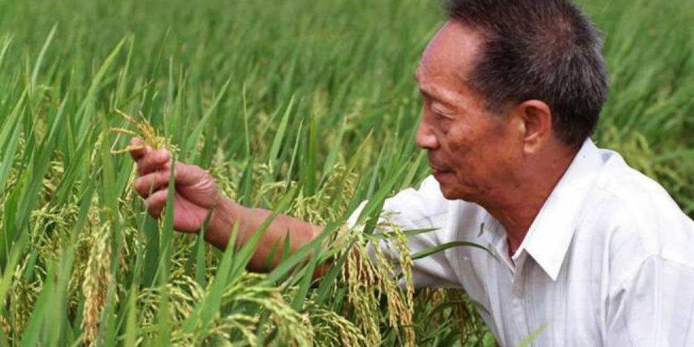 Super arroz híbrido da China bate novo recorde mundial de produção